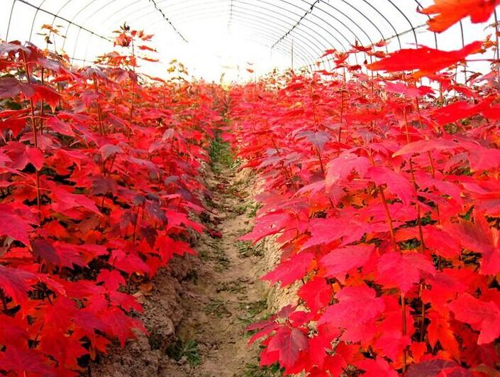 背景 壁纸 枫叶 红枫 绿色 绿叶 树 树叶 植物 桌面 705_531