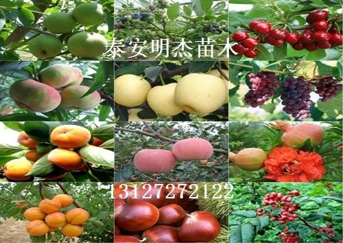 云南八月红梨苗