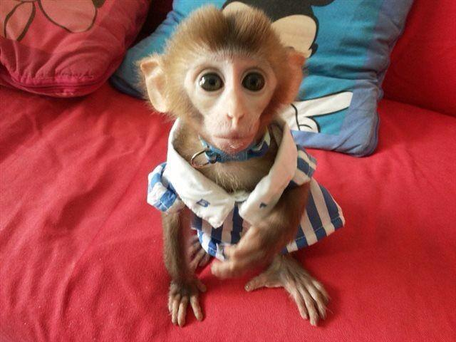 猴子智商非常高,不仅可以当宠物