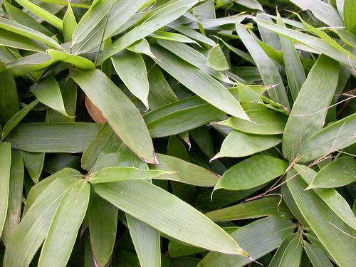 直杆式木瓜盆景图片
